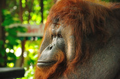 Orangutang in thailand zoo Stock Images
