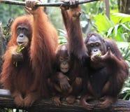 Orangutang Utan  Arkivfoton