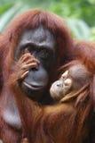Orangutang Utan 1 arkivbilder
