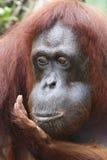 Orangutang Utan 3 Arkivbilder