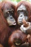 Orangutang Utan 5 Arkivfoton