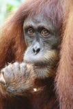 Orangutang Utan 8 Royaltyfria Foton