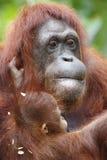 Orangutang Utan 9 Royaltyfri Fotografi