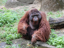 Orangutanget äter kakan royaltyfri bild