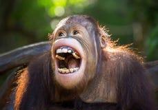 Orangutanget Fotografering för Bildbyråer