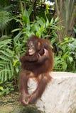 Orangutanget Arkivfoton