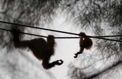 Orangutanget behandla som ett barn att nå för dess moderhand, i Semenggoh naturreserv, Borneo, Malaysia Royaltyfria Bilder