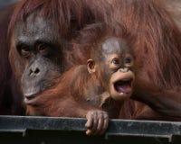Orangutanget - behandla som ett barn med den roliga framsidan Fotografering för Bildbyråer