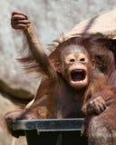 Orangutanget - behandla som ett barn med den roliga framsidan royaltyfri fotografi