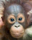 Orangutanget - behandla som ett barn med den roliga framsidan royaltyfri foto