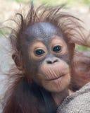 Orangutanget - behandla som ett barn med den roliga framsidan royaltyfria bilder