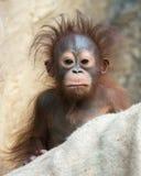 Orangutanget - behandla som ett barn med den roliga framsidan Arkivbild