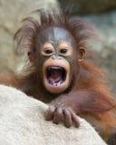 Orangutanget - behandla som ett barn med den roliga framsidan Arkivfoton