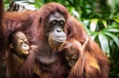 Orangutanget med två behandla som ett barn royaltyfri fotografi