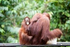 Orangutanget och behandla som ett barn orangutanget Fotografering för Bildbyråer