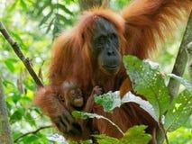 Orangutanget som är utan med litet, behandla som ett barn arkivbild