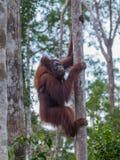 Orangutanget som klättrar ett träd på deras starkt, tafsar i djunglerna av Indonesien Royaltyfri Foto