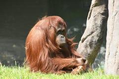Orangutanget som ser ganska trött och, önskar att sova Arkivbilder