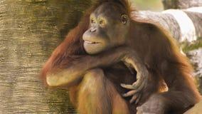 Orangutanget som slår modellera, poserar arkivfoton