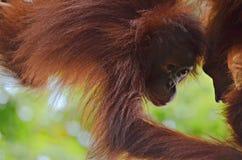 Orangutanget Utan behandla som ett barn Arkivbild