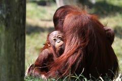 Orangutanget Utan behandla som ett barn Arkivfoton