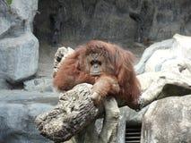 Orangutanget väntar på någon Royaltyfri Foto