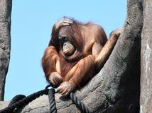 Orangutanget verkar för att vara mycket trött Arkivfoton
