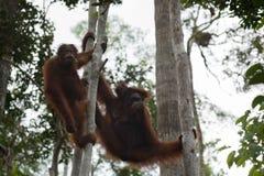 Orangutangfamiljen som vilar i träden på deras starkt, tafsar (Indonesien) Arkivbild