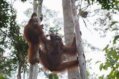 Orangutangfamiljen som vilar i träden på deras starkt, tafsar (Indonesien) Royaltyfria Bilder
