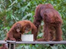Orangutangfamiljfrukost på en träplattform i skogarna av Indonesien Royaltyfri Bild
