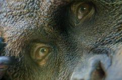 Orangutangframsida till och med det Glass fönstret royaltyfri foto