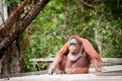 Orangutangkalimantan tanjung som sätter nationalparken indonesia Arkivfoton