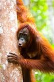 Orangutangkalimantan tanjung som sätter nationalparken indonesia Arkivbilder