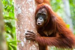 Orangutangkalimantan tanjung som sätter nationalparken indonesia Royaltyfri Fotografi