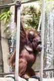 Orangutangmodern och behandla som ett barn på rep Arkivfoton