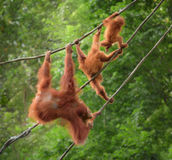 Orangutangs in funny poses walking on a rope Royalty Free Stock Photos