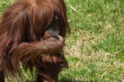 Orangutangsammanträde i gräset Arkivbilder