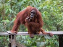 Orangutangsammanträde och klådor på en träplattform i bakgrunden av gröna sidor Arkivfoton
