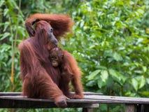 Orangutangsammanträde på en träplattform i bakgrunden av gröna sidor Arkivbild