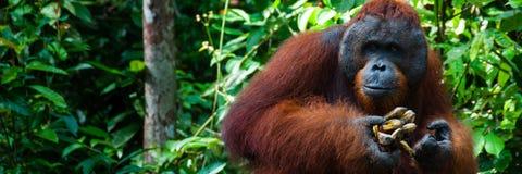OrangutangUtan alfabetisk man med bananen i Borneo Royaltyfri Fotografi