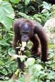 OrangutangUtan att närma sig Arkivfoton