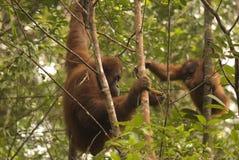 Orangutans, Μπόρνεο, Sarawak Στοκ Φωτογραφίες