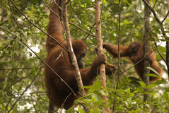 Orangutans, Μπόρνεο, Sarawak Στοκ Εικόνες
