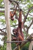 Orangutans παιχνίδι Στοκ Εικόνα