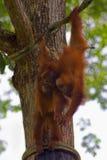 Orangutans του Μπόρνεο Στοκ Εικόνα