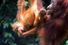 Orangutans του Μπόρνεο, Semenggoh, Sarawak, Μαλαισία Στοκ Εικόνες