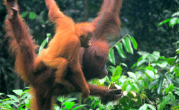 Orangutans του Μπόρνεο, Semenggoh, Sarawak, Μαλαισία Στοκ Εικόνα