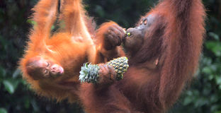 Orangutans του Μπόρνεο, Semenggoh, Sarawak, Μαλαισία Στοκ φωτογραφίες με δικαίωμα ελεύθερης χρήσης