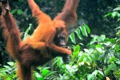 Orangutans του Μπόρνεο, Semenggoh, Sarawak, Μαλαισία Στοκ εικόνες με δικαίωμα ελεύθερης χρήσης
