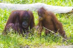 orangutans мати младенца Стоковые Изображения RF